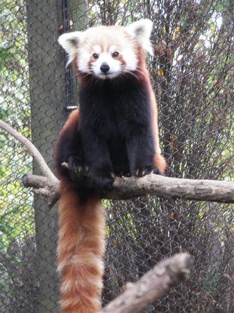 Red Panda Animal Facts Ailurus Fulgens Az Animals