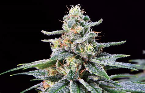 strain review shangrila cannabis