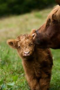 Furry Baby Cow
