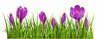 Crocus Clipart Grass Transparent Spring Flower Flowers