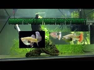 Comment Savoir Si L On Est Enceinte : comment savoir si une femelle guppy est enceinte youtube ~ Dode.kayakingforconservation.com Idées de Décoration