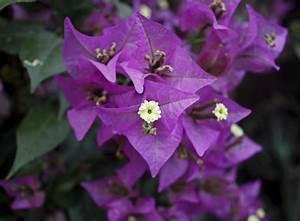 Feucht Werden Tipps : bougainvillea pflegen tipps zur bl te der drillingsblume ~ Lizthompson.info Haus und Dekorationen