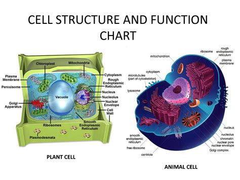 Cell Structure And Function Chart  Estudos  Pinterest  Cell Structure