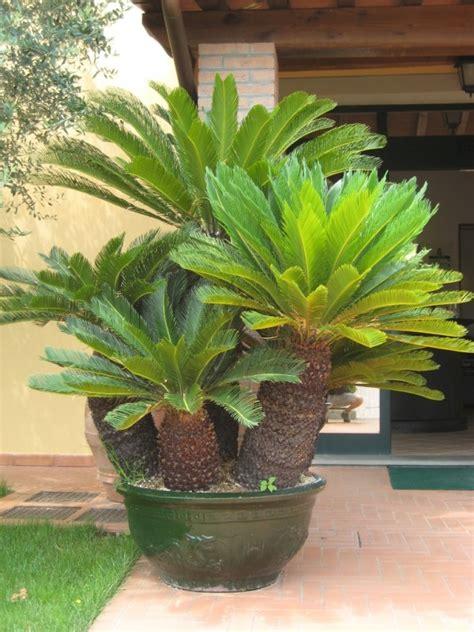 cycas revoluta en pot cycas revoluta toutes les plantes m 233 diterran 233 ennes