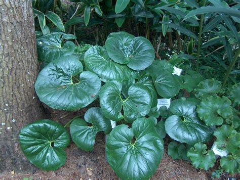 related keywords suggestions  ligularia plant