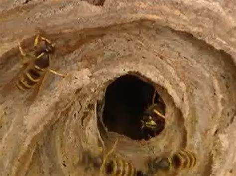 fressen marder wespennester wespennest im winter wespennest im winter entfernen gut f