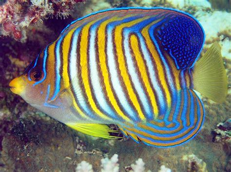 regal angelfish pygoplites diacanthus fiji photo
