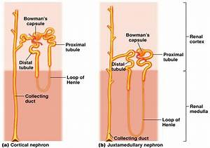 What Is An Adaptive Feature Of Nephron In A Desert Mammal