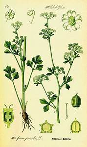 Culture Celeri Branche : c leri wikip dia ~ Melissatoandfro.com Idées de Décoration