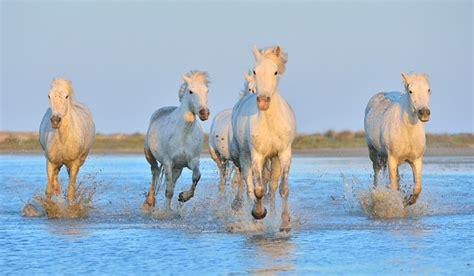 amour dans la cuisine images de la provence chevaux sauvages en camargue