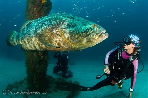 grouper goliath atlantic dives dive jupiter center spawning groupers treasure diving