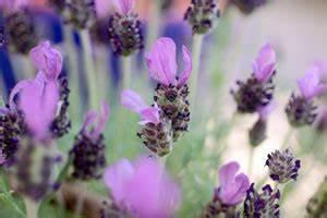 Pflege Von Lavendel : lavendel lavandula pflege anleitung schneiden ~ Lizthompson.info Haus und Dekorationen