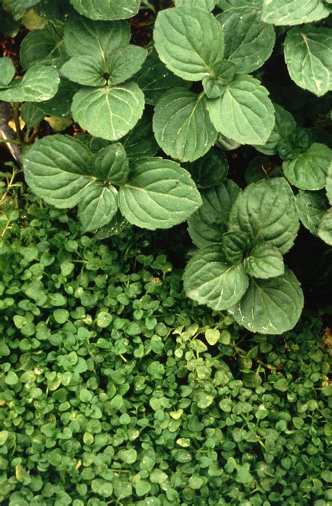 images of mint plants file peppermint and corsican mint plant jpg wikipedia