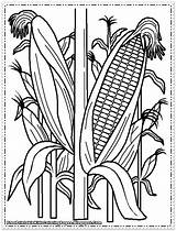 Corn Coloring Pages Printable Cob Cornfield Indian Field Wheat Plant Stalks Drawing Sweet Farm Print Sheets Drawings Getdrawings Preschool Food sketch template
