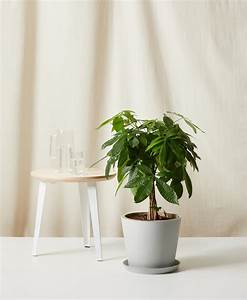 Buy Large  Potted Money Tree Indoor Plant