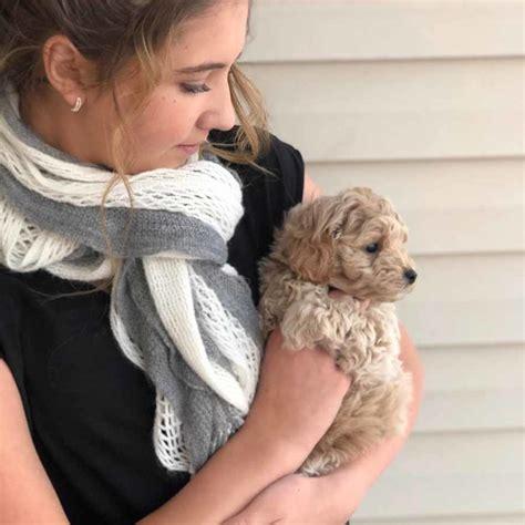 Goldendoodles - Teacup Goldendoodle puppies - Precious ...