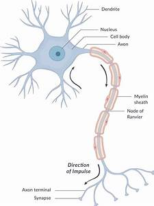 How Does The Nervous System Work  You U0026 39 Ll Be Amazed To Know