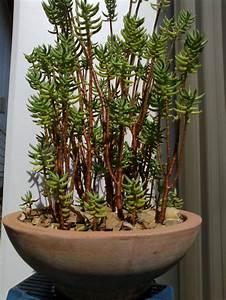 Crassula Tetragona Succulents And Bonsai Pinterest