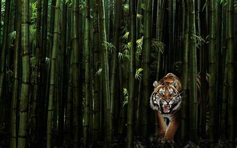 tiger wallpaper green hd desktop wallpapers  hd
