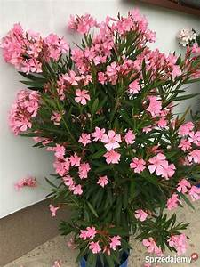 Oleander Winterhart Kaufen : nasiona oleander brze nica ~ Eleganceandgraceweddings.com Haus und Dekorationen