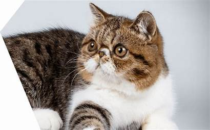 Exotic Chat Cat Gatto Shorthair Esotico Advance