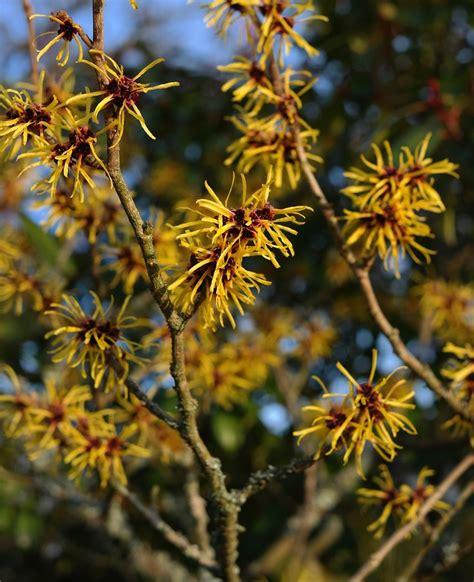 witch hazel shrub varieties witch hazel guide winter flowering shrubs new england today