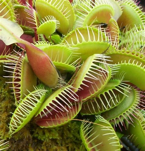 venus fly traps venus fly trap a photo on flickriver