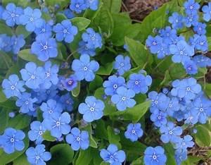 Blühende Pflanzen Winterhart : gedenkmein bl hten blau garten pinterest bodendecker ~ Michelbontemps.com Haus und Dekorationen