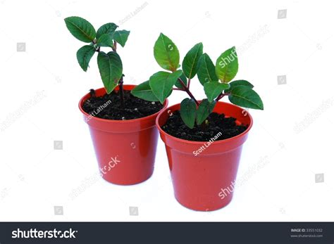 planting fuchsias in pots two small fuchsia plant seedlings growing in pots isolated on white background stock photo