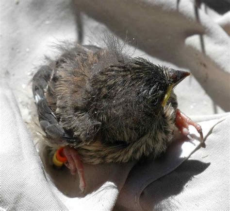 what to do if you find a baby bird plus baby steller s