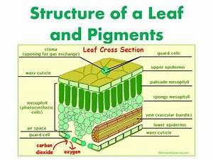 What Is The Function Of Palisade Mesophyll In A Leaf