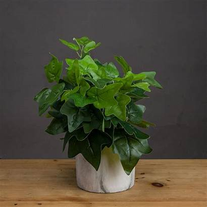 Ivy Plant Potted Baytree Interiors