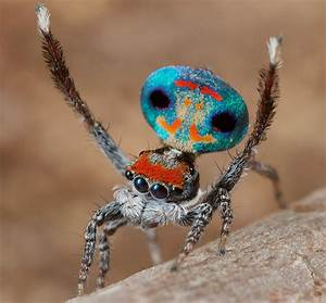 Amazing Peacock Spider of Australia : Very Beautiful and ...