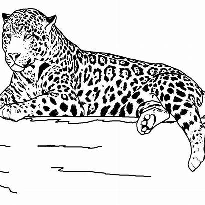 Coloring Animals Animal Pages Realistic Printable Jaguar