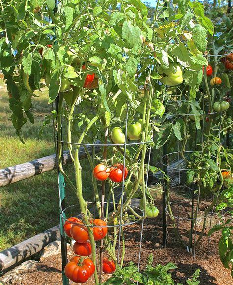kitchen compost sachriya tomato seeds greenmylife anyone can garden