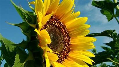 Sunflower Flowers Sunflowers Yellow Nature Wallpapers Skies