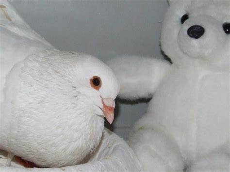 Pigeons As Pets Outside Or Indoors