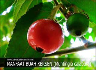 manfaat buah kersen muntingia calabura bagi kesehatan
