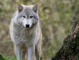 wolf hybrids the best of both worlds or not