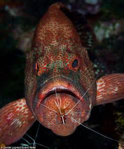 parasites fish shrimp clean mouth food mouths grouper cleaner dentist sea happy remains mr clearing pictured