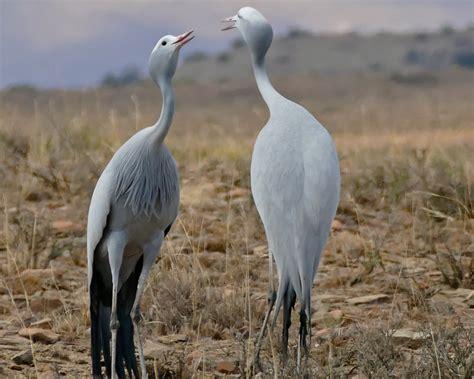 blue crane facts diet habitat pictures  animaliabio