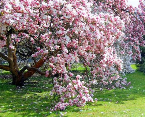 where to plant magnolia trees gardens with magnolia trees 25 healing backyard ideas to feng shui homes