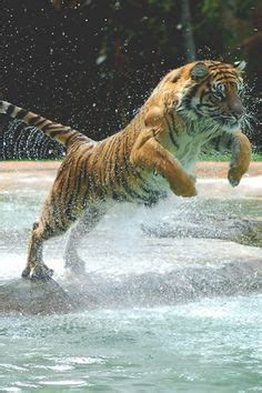 Best Swimming Tigers Jaguars Images Big