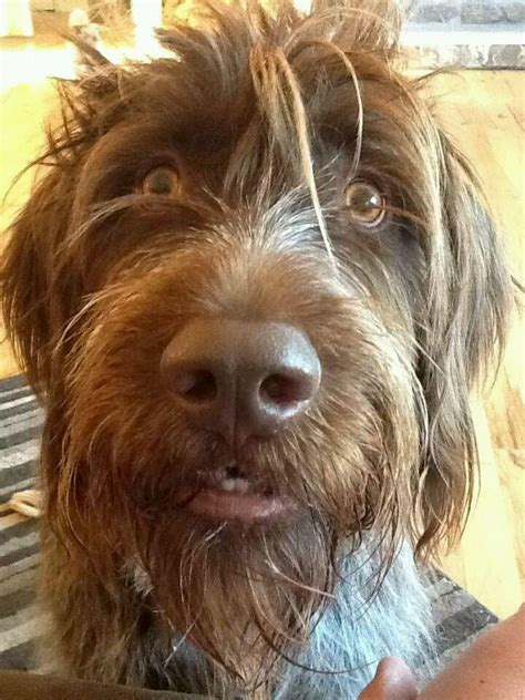 german wirehaired pointing griffon shedding 25 best ideas about wirehaired pointing griffon on