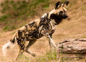 African Wild Dog Facts - Animal Facts Encyclopedia