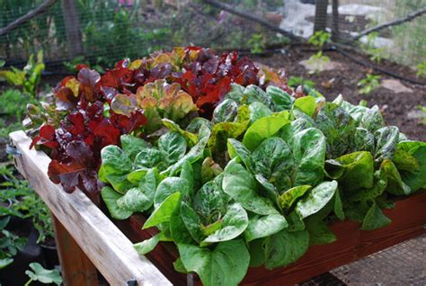where to buy succulent lettuce varieties types of lettuce varieties of lettuce