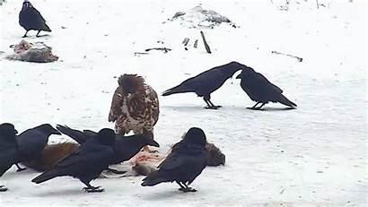 Ravens Smarter Than Crows They Plunder Birdbrain
