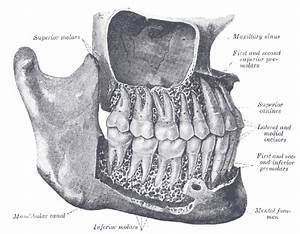 Molar  Tooth