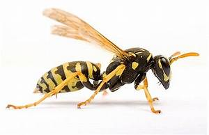 Hornets  Wasps  U0026 Other Insects Treatment In The Cayman