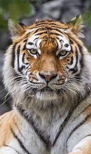 Siberian tiger Wallpaper 4K, Big cat, Wildlife, Predator ...